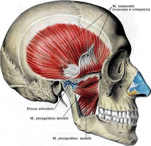 Musculus pterygoideus lateralis