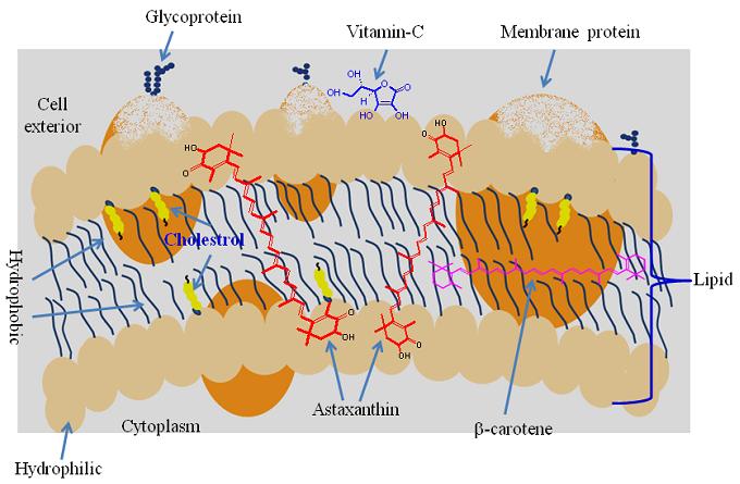 Астаксантин в клеточной мембране