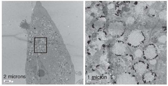 Наночастицы золота в клетках.
